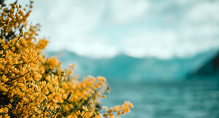 Yellow flowers in front of blue water