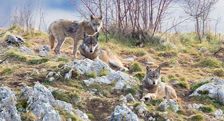 Branco di lupi sul fianco di una collina