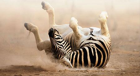 Un cebra revolcándose en la arena fina y blanca